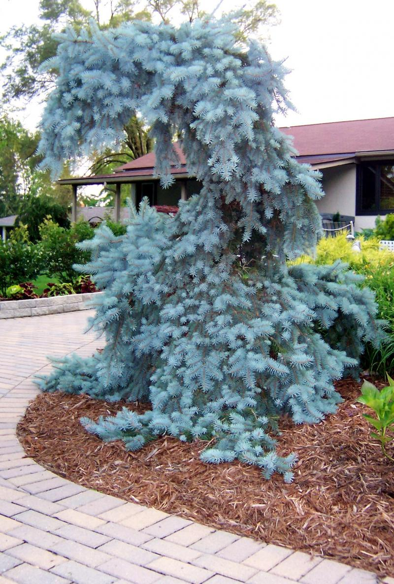 Home Page Weeping Blue Spruce